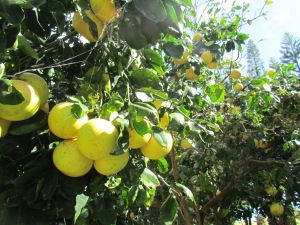 Grapefruit tree